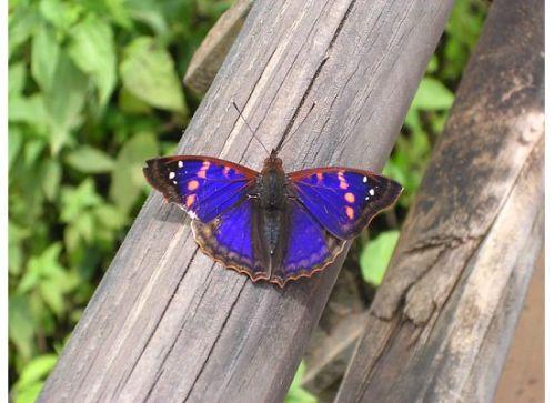 Blue Butterfly. Iguazu, Argentina.