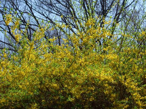 Forsythia. Central Park, NYC.