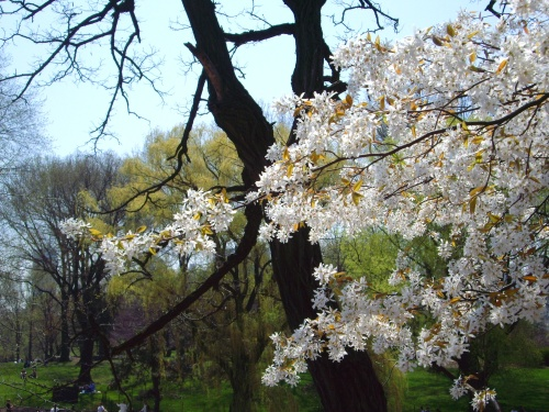White Blossoms. Central Park, NYC.