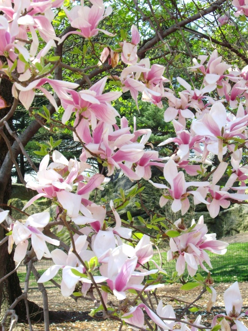 Pink Magnolias. Central Park, NYC.