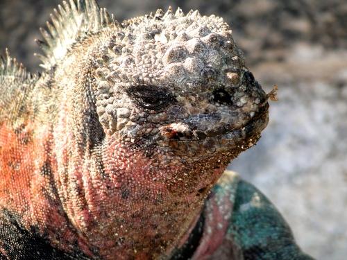Galapagos Iguana. Ecuador.
