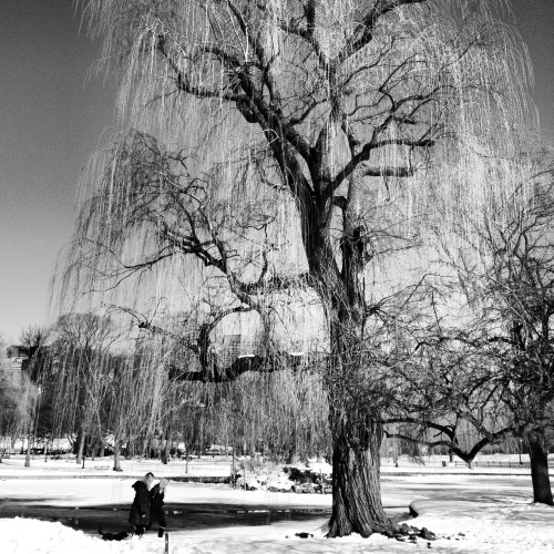 Winter Weeping Willow. Boston, MA.